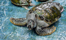 Injure Turtles. Injured Turtles were treated at aquarium Stock Photo