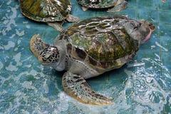 Injure Turtles. Injured Turtles were treated at aquarium Royalty Free Stock Photo