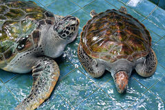 Injure Turtles. Injured Turtles were treated at aquarium Stock Photos