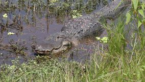 Injured alligator resting after fight in a pond stock video