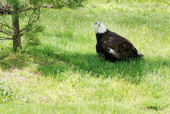 Injured American bald eagle Royalty Free Stock Photography