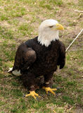 Injured bald eagle Royalty Free Stock Photos