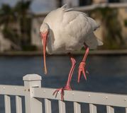 Injured Beautiful White Ibis royalty free stock photo