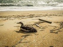 Injured Bird on Beach Royalty Free Stock Images