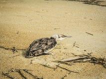 Injured Bird on Sandy Beach Stock Image