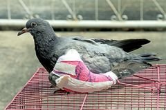 Injured birds, Pigeon with a broken wing, Little young bird, Pigeon, Doves. Stock Images