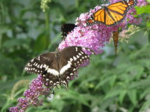 Injured Black Swallowtail. A poor injured and tattered Eastern Black Swallowtail (Papilio Polyxenes) & a vibrant Monarch (Danaus Plexippus) gathering nectar stock photo