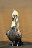Injured Brown Pelican. On the beach at Point Reyes National Seashore, California royalty free stock image