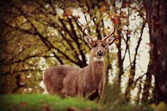 Injured Buck In The Wild. This wild buck was one of the friendliest deer I have ever seen. I was wondering through a local cemetery when I happened upon him and Royalty Free Stock Photography