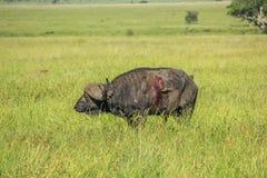 Injured buffalo Royalty Free Stock Image