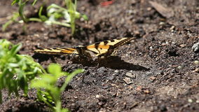 Injured butterfly on the ground Stock Image