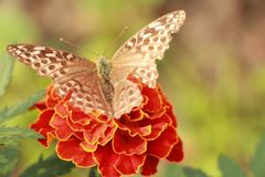 Injured butterfly. Injured silver-washed fritillary on the flower. Some fragments of wings are absent Royalty Free Stock Photography