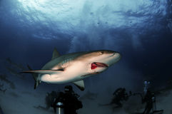Injured Caribbean Reef Shark Stock Image