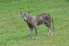 Injured Coyote Royalty Free Stock Photography