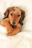Injured  dachshund puppy Royalty Free Stock Photography