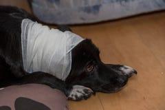 Injured dog with bandage Stock Photography