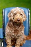 Injured dog Royalty Free Stock Image