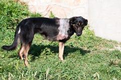Injured Dog Royalty Free Stock Photos