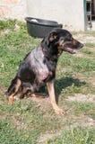 Injured Dog Stock Images