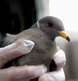 Injured Dove. Man wearing gloves holding an injured dove Royalty Free Stock Images
