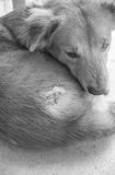 Injured after fight with other dog Stock Images