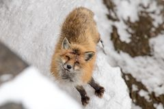 Injured fox after figthing food royalty free stock photo