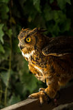 Injured Great horned owl Stock Photo