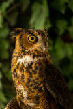 Injured Great horned owl 2 Royalty Free Stock Photo