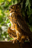 Injured Great horned owl 3 Stock Image
