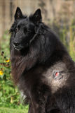 Injured groenendael after fight with other dog Royalty Free Stock Photography