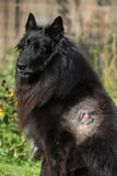 Injured groenendael after fight with other dog Royalty Free Stock Image