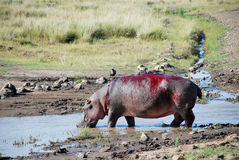 Injured hipo in Serengeti, Tanzania Stock Image