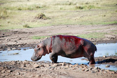 Injured hipo in Serengeti, Tanzania Stock Photo