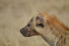 Injured Hyena royalty free stock images