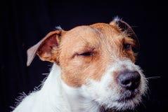 Injured ill dog  on black. Royalty Free Stock Photos
