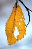 Injured leaf. Poplar autumn leaf with holes Stock Photo