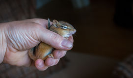 Injured lethargic young Chipmunk held in hand. Stock Image