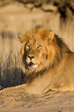 Injured lion Royalty Free Stock Photos