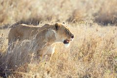 Injured lion in the Serengeti Stock Photos