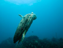 Injured loggerhead sea turtle swimming on reef Royalty Free Stock Image