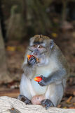 Injured Macaque eating fruit off the forest floor Royalty Free Stock Image