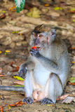 Injured Macaque eating fruit off the forest floor Stock Photography
