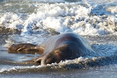 Injured male elephant seal laying in the surf on beach with eye bleeding. Male elephant seal laying on a beach, injured, bleeding from one eye. Elephant seals Stock Photo