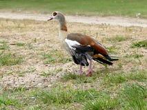 Injured nile goose Stock Photo