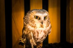 Northern Saw-Whet Owl Searches the Room stock images