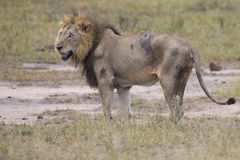 Injured old lion male lying in the grass and lick his wounds Stock Images