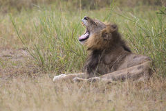 Injured old lion male lying in the grass and lick his wounds Royalty Free Stock Images