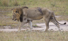 Injured old lion male lying in the grass and lick his wounds Stock Image