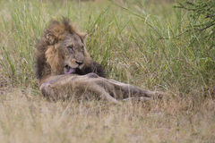 Injured old lion male lying in the grass and lick his wounds Royalty Free Stock Photography