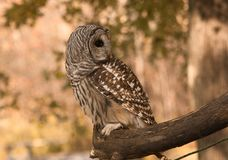 Injured owl Royalty Free Stock Photography